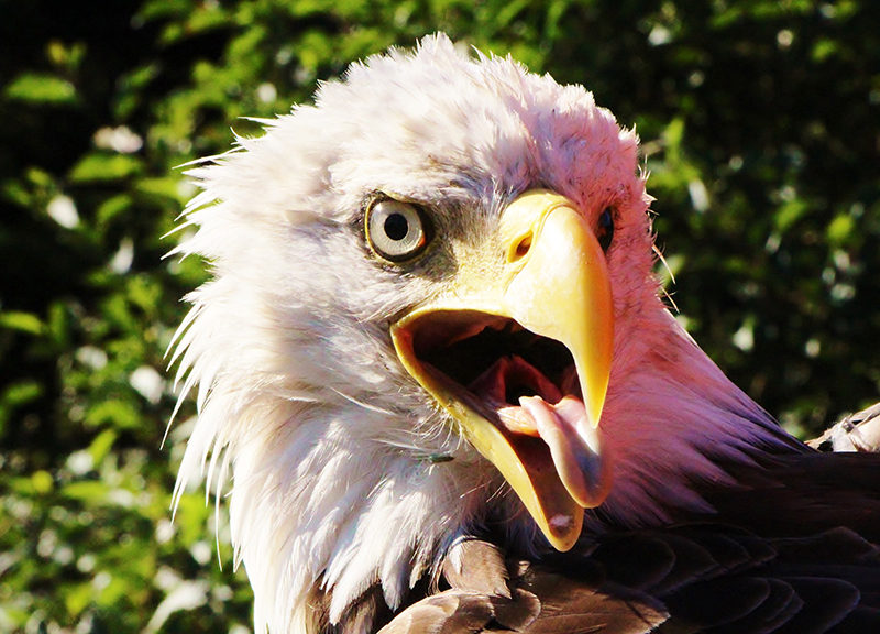 What is Killing the Eagles?